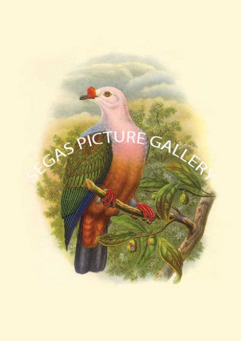 Fine art print of the New Ireland Fruit Pigeon by John Gould (1838-40)